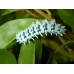 American Ailanthus Moth advena 15 eggs
