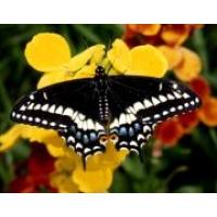 American Black Swallowtail polyxenes asterias 10 Larvae