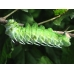 Philippine Atlas Moth Attacus atlas cocoons