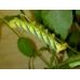Deathshead Hawk Atropos 15 Eggs,