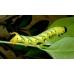 Deathshead Hawk Atropos 10 larvae