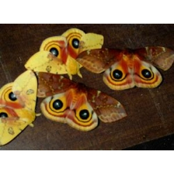 Bullseye Moth Automeris io Three cocoons