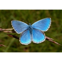 Adonis Blue bellargus 5 pupae