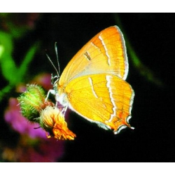 Brown Hairstreak betulae TEN pupae