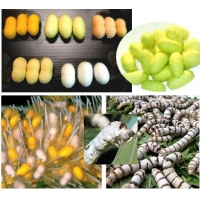 SILKWORM EGGS Colourful cocoons and unusual larvae