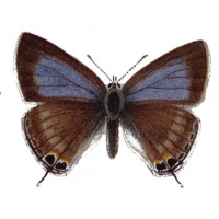 Long-tailed Blue Lampides boeticus 5 pupae