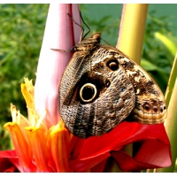 Owl Butterfly Caligo species 2 pupae
