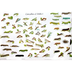 CHART Caterpillars of British Moths 1 and 2, Gordon Riley & David Carter