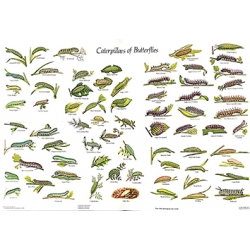 CHART Caterpillars of the British Butterflies, Gordon Riley & David Carter