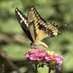 The Giant Swallowtail Papilio cresphontes 4 pupae