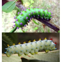 DUO Robin Moth cecropia and Giant Peacock Moth pyri 10 eggs of each
