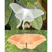 DUO American Moon Moth luna and Chinese Oak Silkmoth pernyi 10 eggs of each