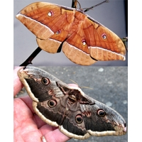 DUO Giant Peacock Moth pyri and Chinese Oak SIlkmoth pernyi 10 eggs of each