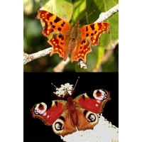 DUO Peacock Inachis io and Comma c-album 10 larvae of each