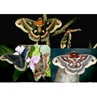 TRIO Robin Moth cecropia Cherry Silkmoth promethea and Columbia Silkmoth 10 eggs of each