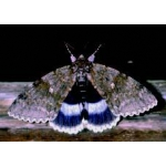 Clifden Nonpareil (Blue Underwing) Catocala fraxini 15 Eggs SALE PRICE