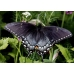 Tiger Swallowtail glaucus pupae SALE PRICE