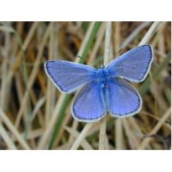 Common Blue icarus 10 Larvae