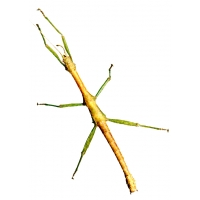 Indian Stick Insect Carausius morosus 5 sub-adults