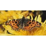 Map Butterfly levana 5 Pupae
