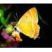 Brown Hairstreak T. betulae 50 eggs SALE PRICE