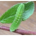 Black Hairstreak S. pruni 10 larvae