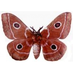 Chestnut Emperor menippe A breeding stock of 5 pupae