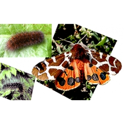 Garden Tiger caja Woolly Bears 10 larvae