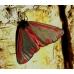 Cinnabar Moth Hipocrita jacobaeae 10 larvae