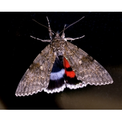 DUO Clifden Nonpareil fraxini with Red Underwing nupta 15 eggs of each SPECIAL PRICE