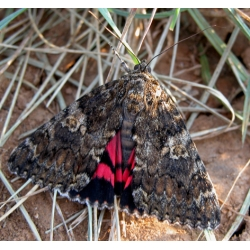 Dark Crimson Underwing Catocala sponsa 10 eggs