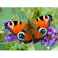 EXTRA EARLY Peacock Butterfly Inachis io 5 Pupae