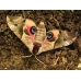 Eyed Hawk Smerinthus ocellata pupae