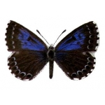 Chequered Blue Scolitantides orion 4 pupae