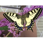 Swallowtail Papilio machaon machaon Sweden 2 pupae