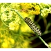 European Swallowtail P.machaon gorganus 15 eggs/10 larvae