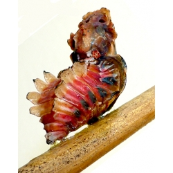 Atrophaneura semperi from Philippines 2 pupae
