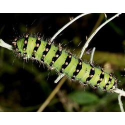 Emperor Moth pavonia 15 eggs