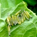 Large White Pieris brassicae 10 Pupae