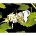 Orange Tip Anthocharis cardamines pupae