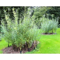 OSIER A wonderful foodplant. Ten cuttings SALE PRICE