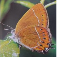 Black Hairstreak pruni 10 pupae