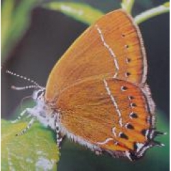 Black Hairstreak pruni 5 pupae