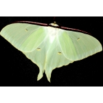 Russian Moon Moth Actias sjoeqvisti 15 eggs