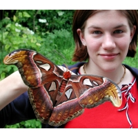 Giant Atlas Moth Attacus atlas cocoons SPECIAL PRICES!