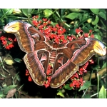 Giant Atlas Moth Attacus atlas cocoons SALE PRICE