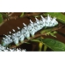 European Cynthia Moth Philosamia cynthia A breeding stock of 5 cocoons