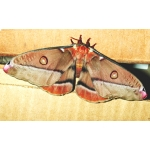 Emperor Gum Moth eucalypti cocoons SALE PRICES