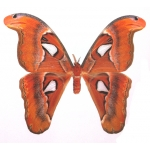 Attacus lemairei Palawan Island, Philippines cocoons BARGAIN PRICE!