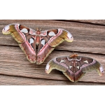 Attacus lorquinii TWO cocoons SPECIAL PRICE!